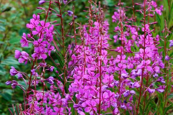 Растение Иван Чай