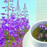 Время и продолжительность цветения Иван-Чая