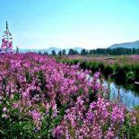 Собираем Иван Чай в Оренбургской области