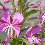 Лечебные свойства и противопоказания Кипрея (Иван-Чая)