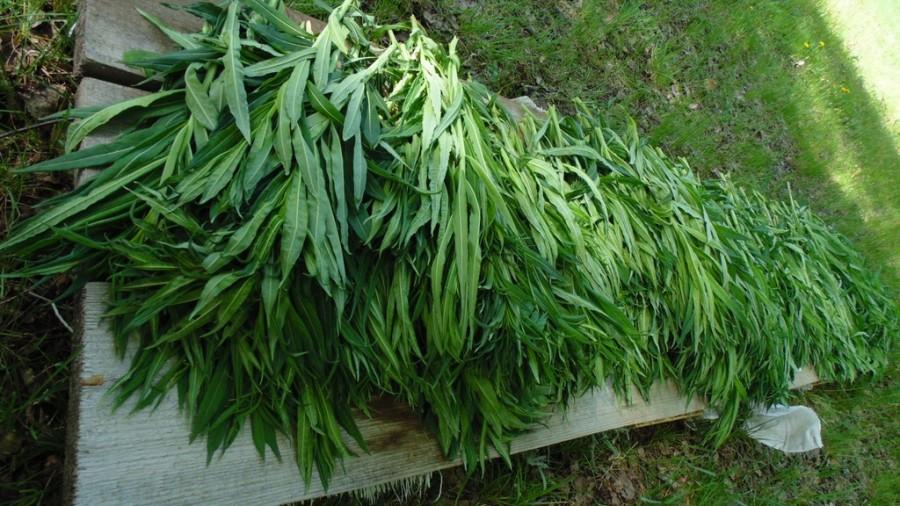 Свежие листья Иван Чая