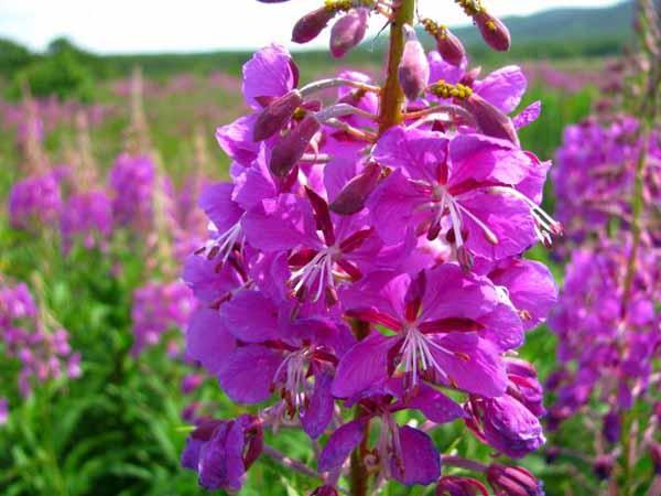 Цветы Иван Чая