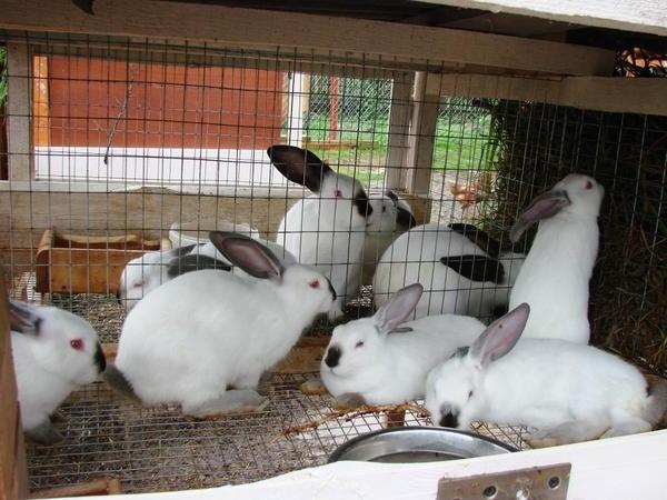 Кролики и Иван Чай
