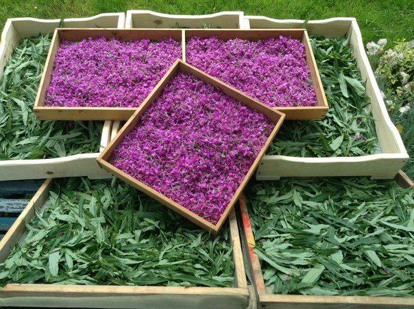 Купить семена Иван-чая